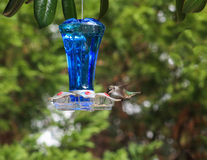 Ruby Hummingbird blue feeder 1 Royalty Free Stock Images