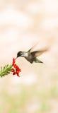 Ruby Hummingbird-Center lodlinje Arkivfoto