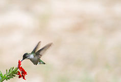Ruby Hummingbird Red flower on L Royalty Free Stock Photography