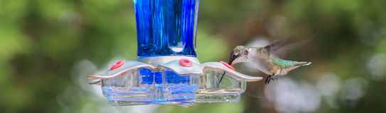 Ruby Hummingbird tongue inside feeder Royalty Free Stock Photo