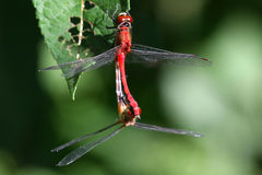 Ruby Meadowhawk Dragonfly Stock Photography