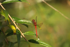 Ruby Meadowhawk Dragonfly Male. Sympetrum rubicundulum In Morning Sun Stock Image
