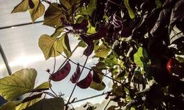 Ruby Moon Hyacinth Beans In ein Gewächshaus lizenzfreie stockbilder