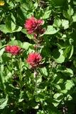 Ruby Paintbrush, Castilleja Spp., Near Wonderland Trail, Mt. Rainier National Park, Washington State, Pacific Northwest. Lupine, Saffire Blue Jewels, cascade stock images