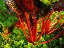 Ruby Rainbow Swiss Chard Immagini Stock Libere da Diritti