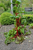 Ruby red chard Stock Images