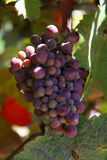 Ruby red grapes on the vine. A bunch of ruby red grapes hang from the vine ready to be picked Royalty Free Stock Image