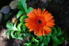 Ruby Red Grebera Daisies - djup orange blomma arkivbild