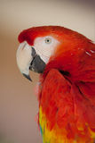 Ruby red Macaw with neutral background Royalty Free Stock Image