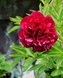 Ruby Red Peony Stock Photo