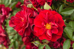 Ruby roses in bloom Stock Photos