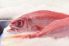 Ruby snapper closeup Stock Images