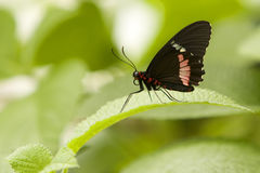 Ruby-spotted Swallowtail Royalty Free Stock Photos