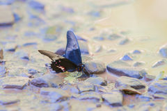 Ruby-spotted Swallowtail butterfly Royalty Free Stock Image