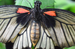 Ruby-spotted Swallowtail Butterfly closeup royalty free stock photo