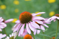 Ruby Star Purple Coneflower. Close up of a ruby star purple coneflower - Latin name Echinacea purpurea Rubinstern Royalty Free Stock Photos