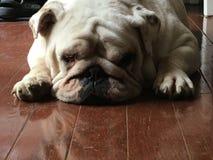 Ruby Sue the Bulldog stock photography