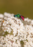 Ruby tailed chrysis wasp Royalty Free Stock Images