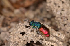 Ruby-tailed wasp (Chrysis ignita).  Royalty Free Stock Photos