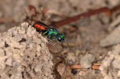 Ruby-tailed wasp (Chrysis ignita).  Royalty Free Stock Images