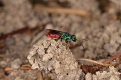 Ruby-tailed wasp (Chrysis ignita). On the nest Royalty Free Stock Photos