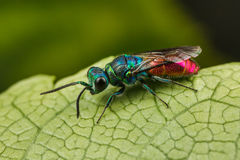 Ruby-tailed Wasp Royalty Free Stock Photo