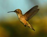 Free Ruby Throat Hummingbird Flight Stock Photography - 44029052