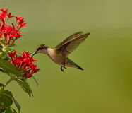 Ruby-throat Hummingbird Royalty Free Stock Photo