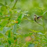 Ruby-throat Hummingbird on Jewel Weed plant. The ruby-throated hummingbird (Archilochus colubris) finding nectar after a rain. Raindrops on aJewel weed stock photo