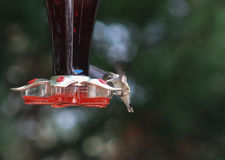 Ruby Throat Hummingbird matningar 1 royaltyfri foto