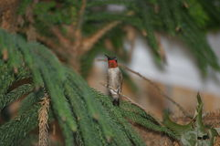 Ruby throat hummingbird Royalty Free Stock Images