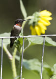 Ruby-throat perching 2 Royalty Free Stock Images