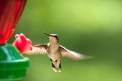 Hummingbird flying Royalty Free Stock Photography