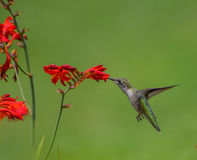 Ruby Throated humming bird. Humming bird hovering and feeding for a flower. With green background Stock Image