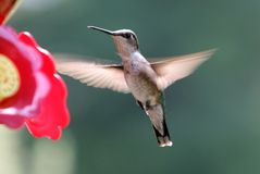 Ruby Throated Hummingbird. At feeder Royalty Free Stock Photos