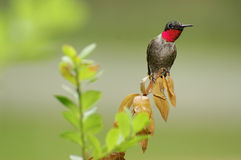 Ruby Throated Hummingbird Stock Images