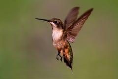 Ruby-throated Hummingbird Royalty Free Stock Photography