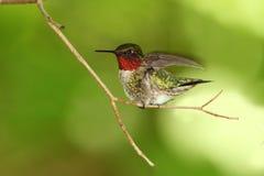 Ruby-throated Hummingbird. Male Ruby-throated Hummingbird (Archilochus colubris) Taking Flight - Ontario, Canada Royalty Free Stock Photography