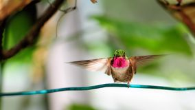 Ruby-throated hummingbird Royalty Free Stock Photos