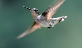 Ruby Throated Hummingbird 3. Female Ruby Throated Hummingbird in flight Stock Images