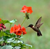 Ruby-throated Hummingbird. Male ruby-throated hummingbird feeding on a geranium flower