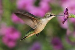 Free Ruby-throated Hummingbird Stock Photography - 42346322