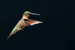 Ruby-Throated Hummingbird Royaltyfria Bilder
