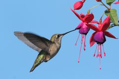 Ruby-Throated Hummingbird Royaltyfri Bild