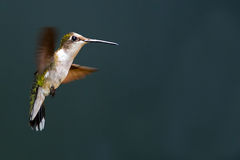 Free Ruby-throated Hummingbird Royalty Free Stock Images - 42913229