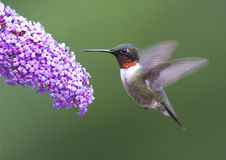 Ruby-Throated Hummingbird Royaltyfria Bilder