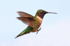 Ruby-throated Hummingbird Royalty Free Stock Image