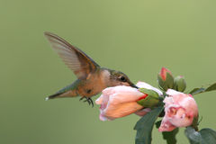 Ruby-throated Hummingbird Stock Image