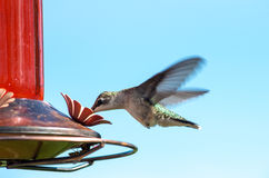 Ruby-Throated Hummingbird Arkivbilder