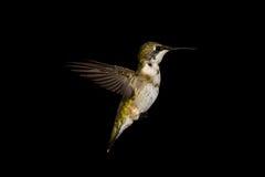 Ruby-Throated Hummingbird Arkivfoto